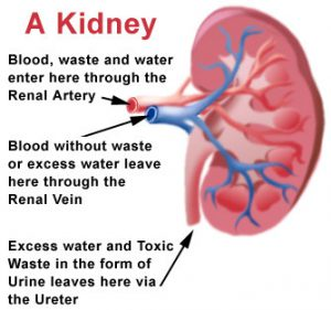 How do kidneys function by Nagaraju Tadakaluri