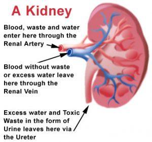 How do kidneys function by Nagaraju Tadakaluri