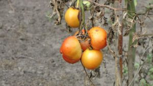 Tomato Crop Failure