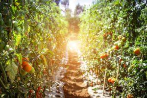 Pathway between Tomatoes